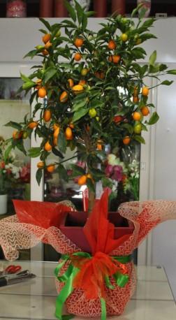 Citrus Japonica kumquat