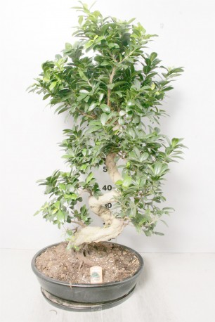 Bonsai large