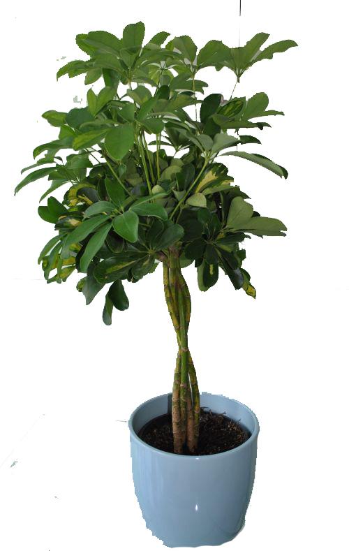 Shefflera 4 plants in braid