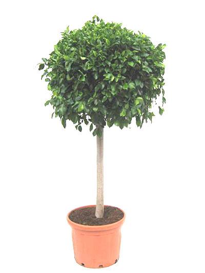 Ficus benjamin Ball